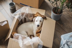 Puppy laying in a box being unpacked in an apartment